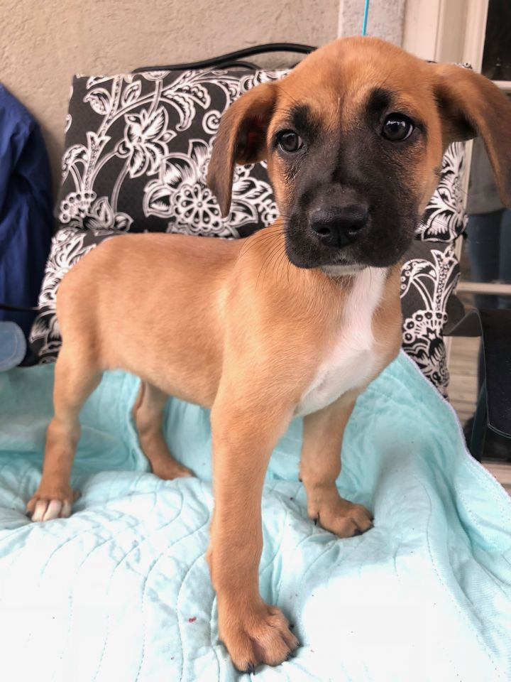 Biggie Smalls, an adoptable Black Mouth Cur & Coonhound Mix in Carencro, LA