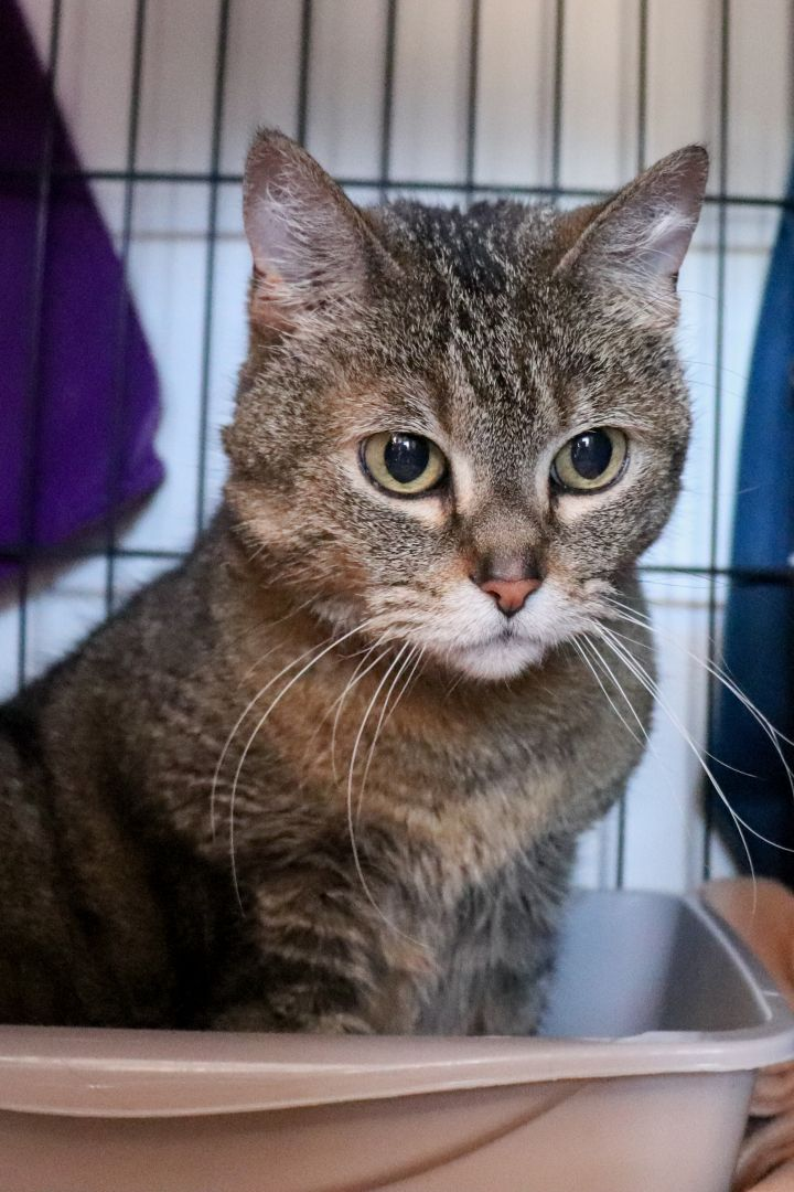 Meeri, an adopted Domestic Short Hair Mix in Springfield, MO