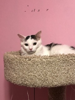 Pippin, an adoptable Domestic Short Hair & Tabby Mix in Oak Forest, IL