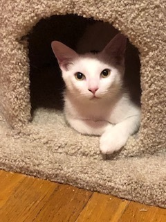 Sam, an adoptable Domestic Short Hair in Oak Forest, IL