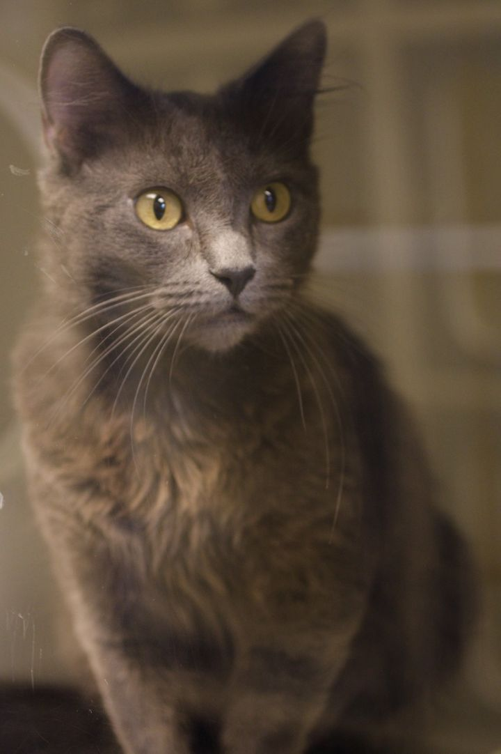 Beth, an adopted Domestic Short Hair in Bellingham, WA