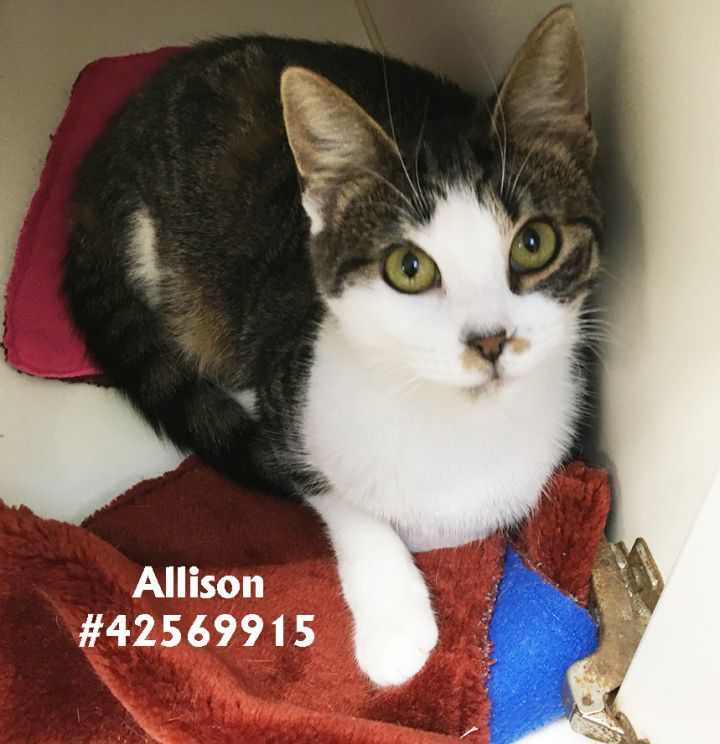 Allison, an adopted Tabby in Wilkes Barre, PA