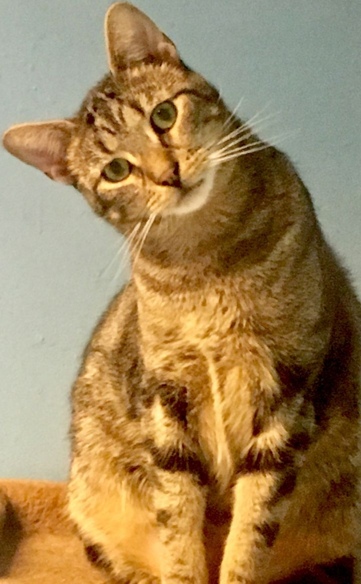 Sammy, an adoptable Domestic Short Hair in Walden, NY