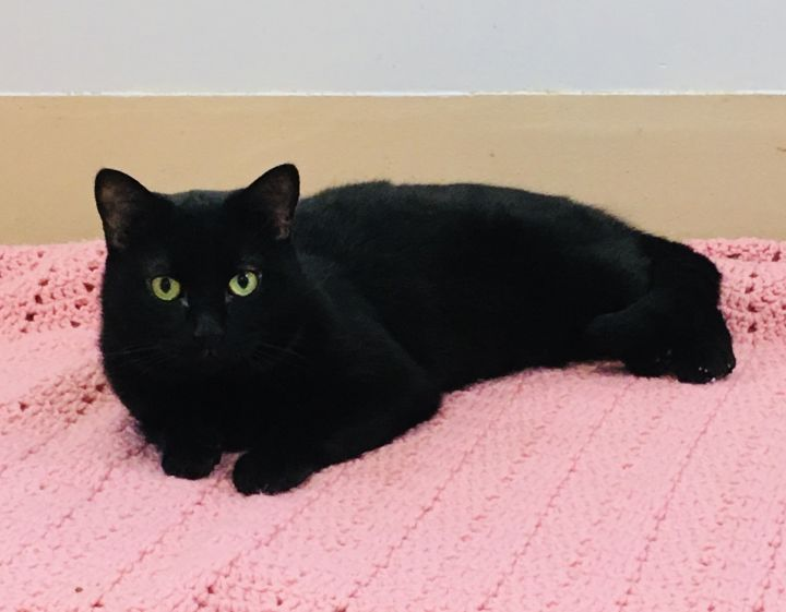 Jeremy, an adoptable Domestic Short Hair in Walden, NY