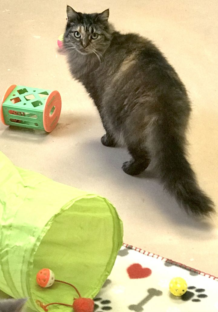 Sophie, an adopted Domestic Short Hair in Walden, NY