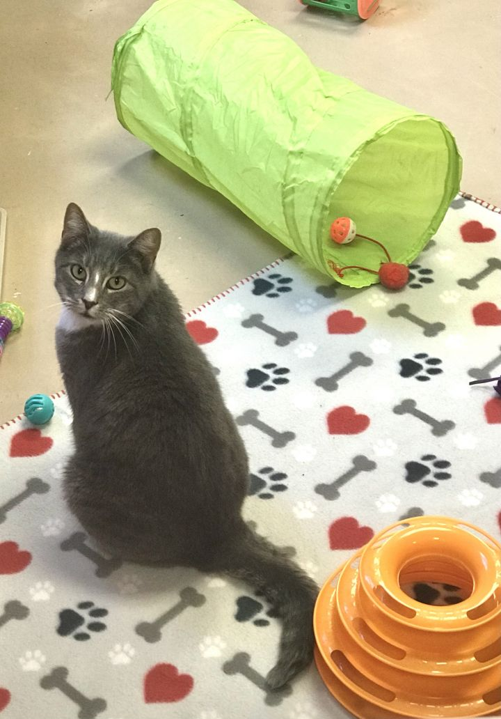 Nebula, an adoptable Domestic Short Hair in Walden, NY