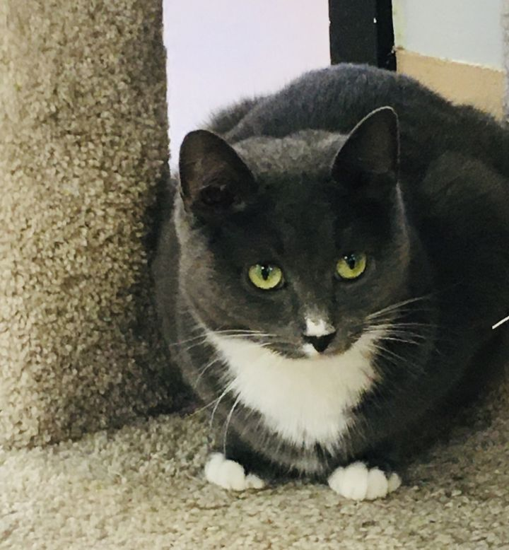 Sox, an adoptable Domestic Short Hair in Walden, NY