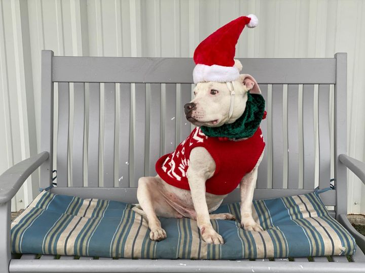 Wyatt, an adoptable Pit Bull Terrier in Eagle, ID
