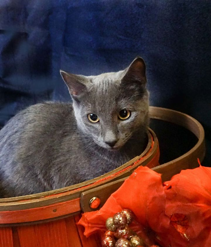 Delta, an adopted Domestic Short Hair Mix in Buhl, ID