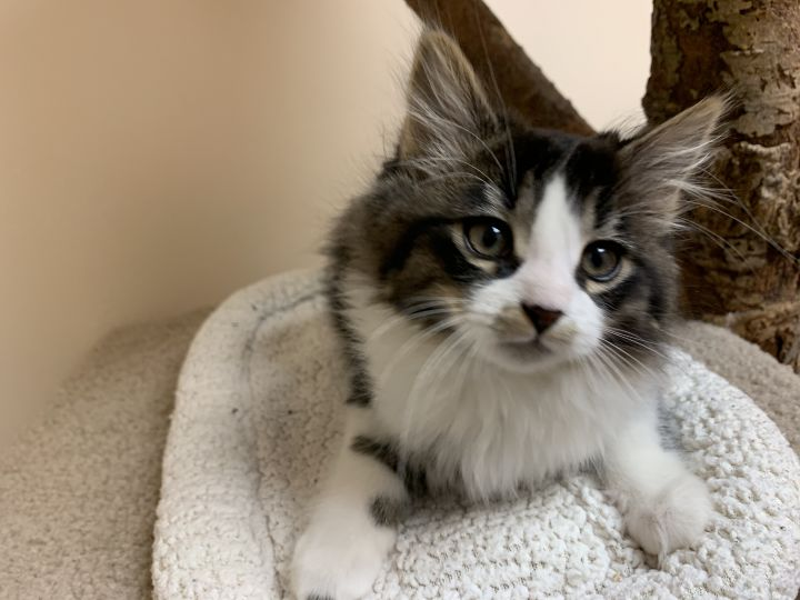Reba, an adopted Domestic Long Hair Mix in Madison, WI