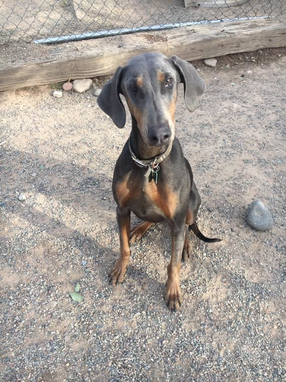 Nala, an adopted Doberman Pinscher Mix in Rifle, CO