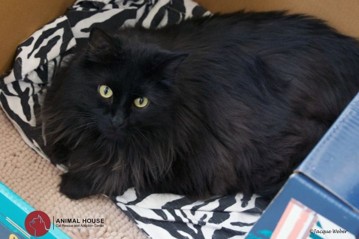 Bear, an adoptable Domestic Long Hair in St. Louis, MO