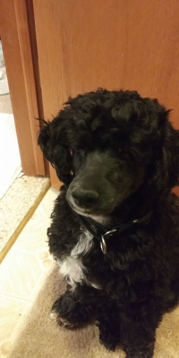 Joey: adoption pending!, an adopted Poodle in Verona, WI