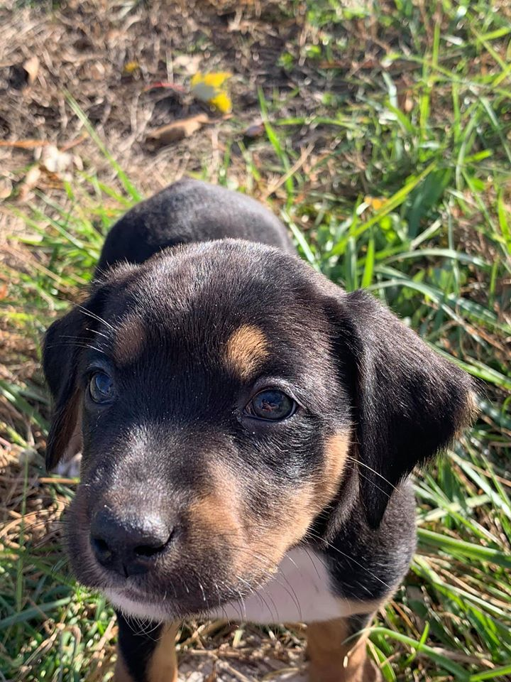 Black And Tan Coonhound Pointer Mix - petfinder