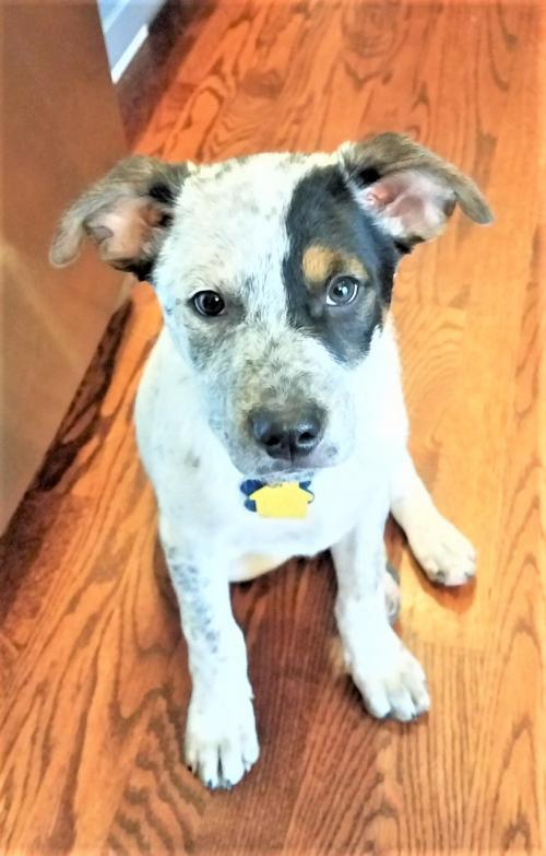 JD, an adoptable Cattle Dog Mix in Winter Park, CO
