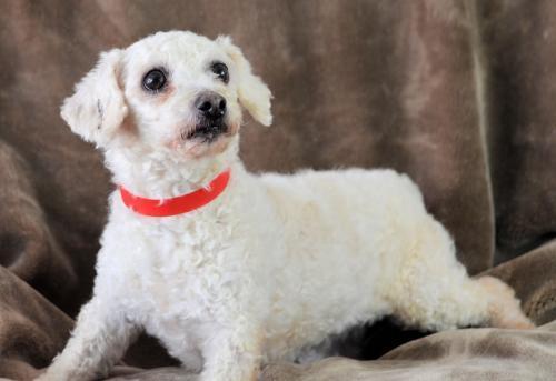 Dog For Adoption Mandy A Bichon Frise In Colorado Springs