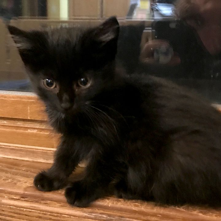 Tuck, an adopted Domestic Medium Hair in Middleton, WI