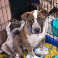 Zack, an adopted Australian Cattle Dog / Blue Heeler Mix in Kennewick, WA
