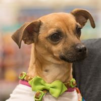 Lambchop, an adoptable Chihuahua Mix in Kennewick, WA
