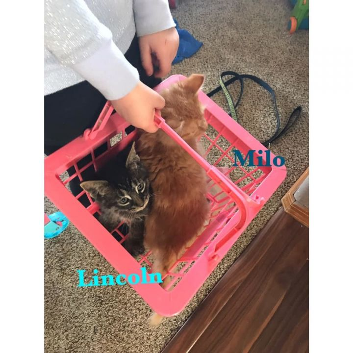 Lincoln, an adoptable Domestic Medium Hair Mix in Kennewick, WA