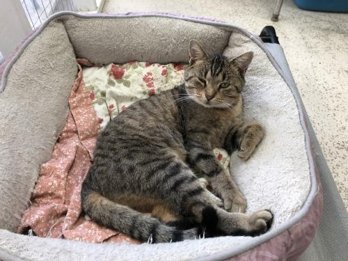 Simba, an adoptable Tabby & Domestic Short Hair Mix in Monroe, MI