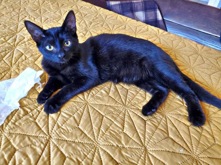 Licorice, an adoptable Domestic Short Hair in Lockport, IL