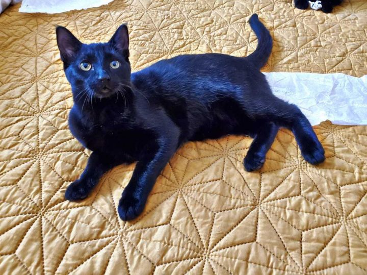 Blackberry, an adoptable Domestic Short Hair in Lockport, IL