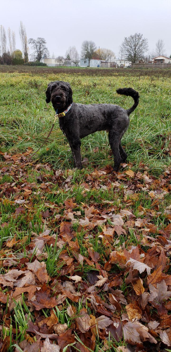 Dog For Adoption Winston An Australian Shepherd Poodle