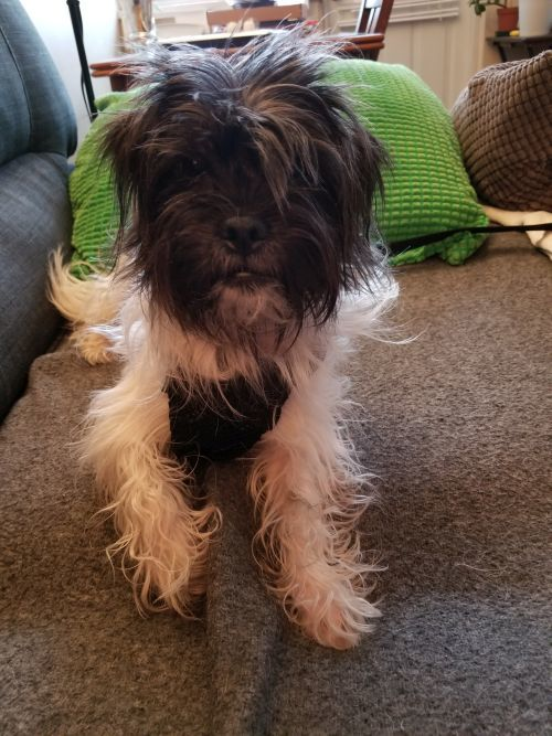 Minnie, an adopted Jack Russell Terrier & Shih Tzu Mix in Toronto, ON