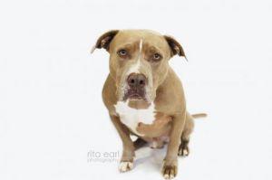 Bruster Pit Bull Terrier Dog