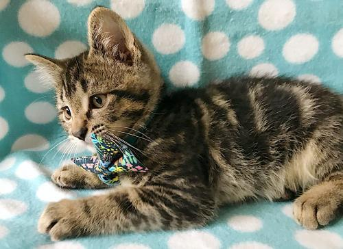 Hawthorn, an adoptable Tabby & Domestic Short Hair Mix in Springfield, OR