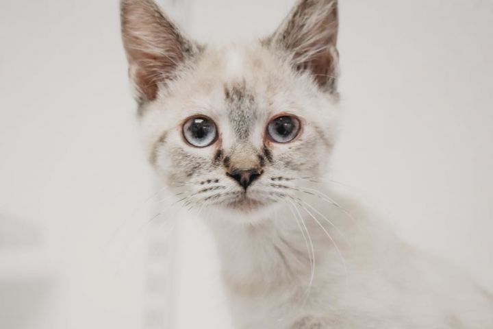 Chai Tea, an adopted Siamese Mix in Longview, WA