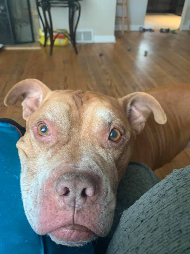 POOCHIE!, an adoptable Pit Bull Terrier in Philadelphia, PA