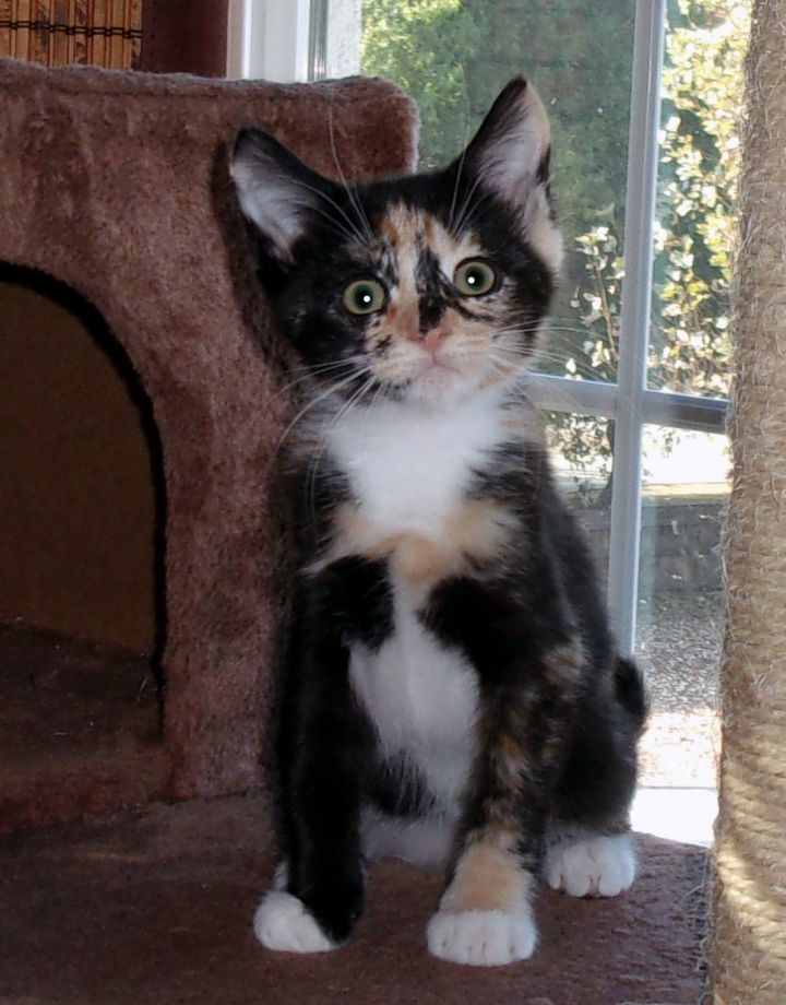 LILY, an adopted Calico in Fairfield, CA