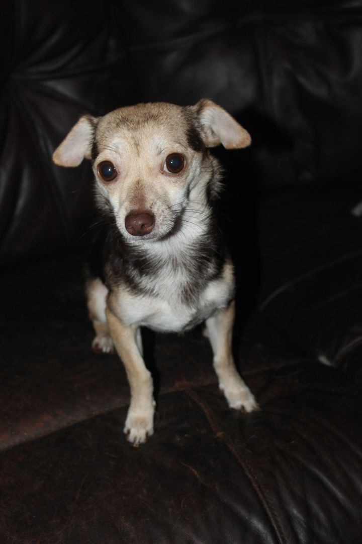 Dog for adoption - Chucky, a Chihuahua Mix in East Dover, VT
