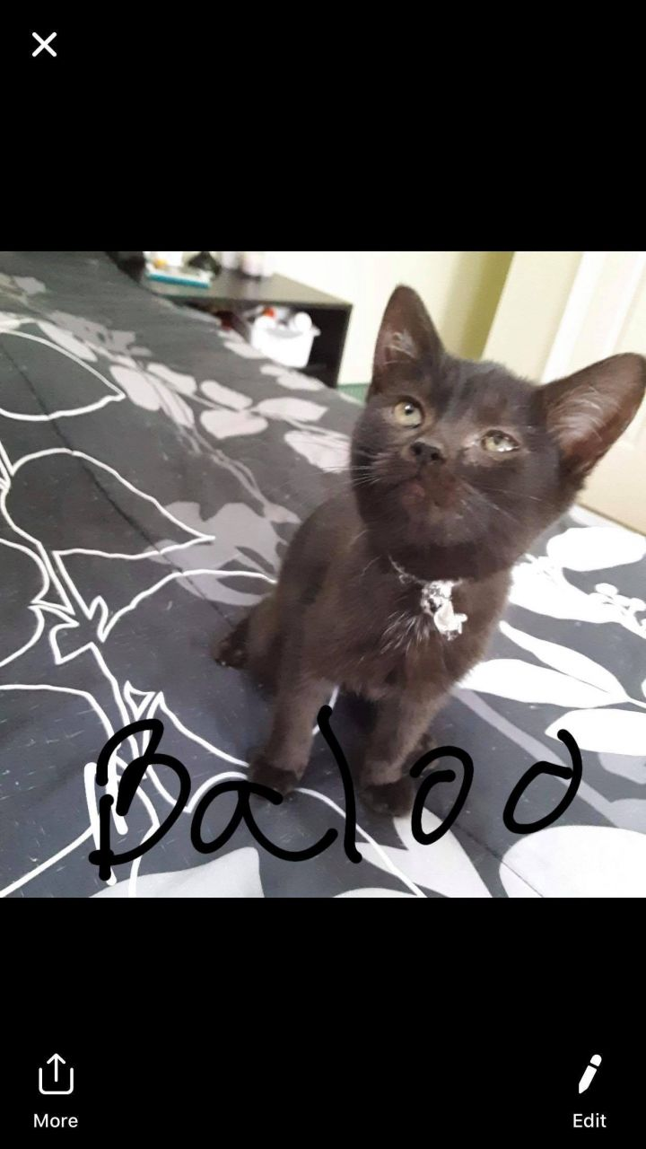 Baloo Bear, an adoptable Russian Blue & Siamese Mix in Troy, VA