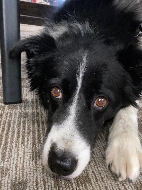 Winston, an adoptable Border Collie in Winter Park, CO