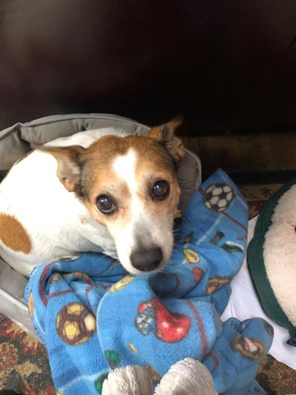 Abby, an adoptable Rat Terrier Mix in Oakland, NJ