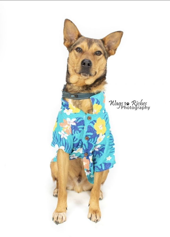 Mater, an adoptable German Shepherd Dog & Australian Cattle Dog / Blue Heeler Mix in Tuscaloosa, AL