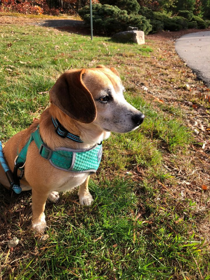 Nala, an adoptable Beagle & Chihuahua Mix in Darien, CT