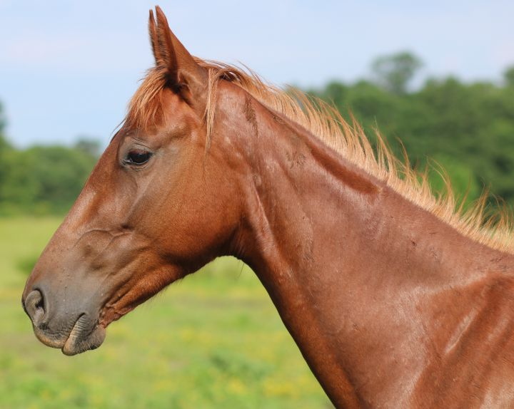 Godiva, an adopted Saddlebred in Hohenwald , TN