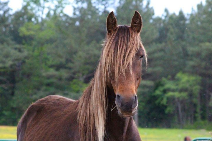 Sancho, an adoptable Rocky Mountain Horse in Hohenwald , TN