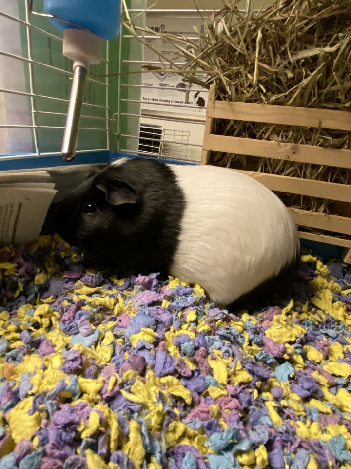 Bijou, an adopted Guinea Pig Mix in Bellingham, WA