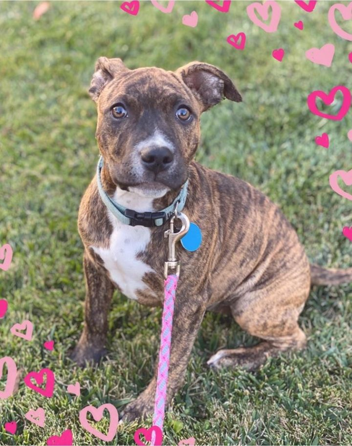 Stevie, an adopted American Staffordshire Terrier Mix in Vallejo , CA
