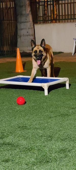 Rocky Belgian Shepherd / Malinois Dog