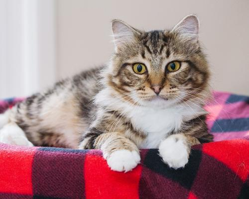 Peter Pan, an adoptable Tabby & Manx Mix in Springfield, OR