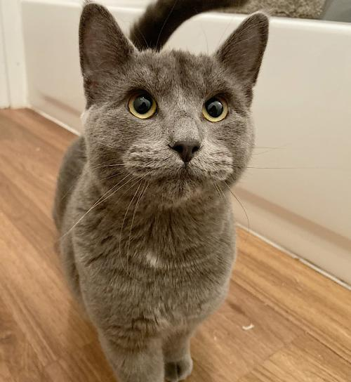 Whisker, an adoptable Domestic Short Hair & Russian Blue Mix in Springfield, OR