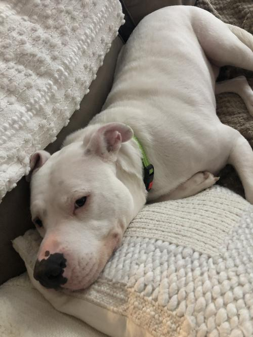Waggoner, an adoptable American Bulldog Mix in Alpharetta, GA