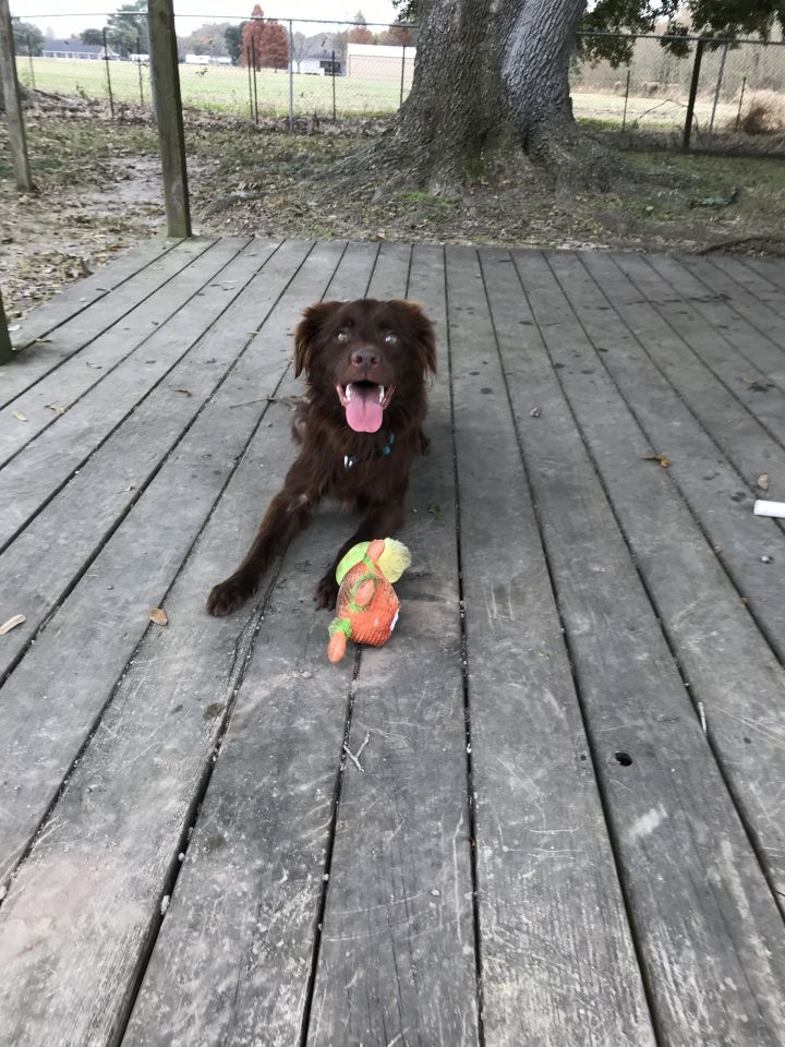 Chanel, an adoptable Irish Setter & Spaniel Mix in Carencro, LA