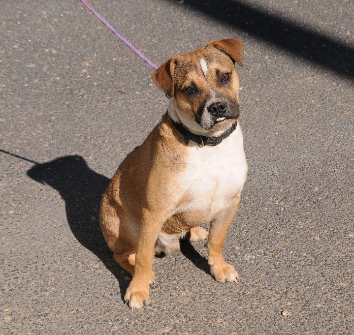 Hank, an adoptable Boxer Mix in Jamestown, CA